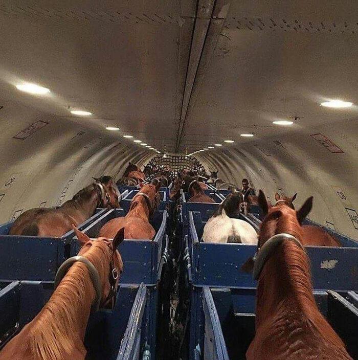 Caballos en un avión