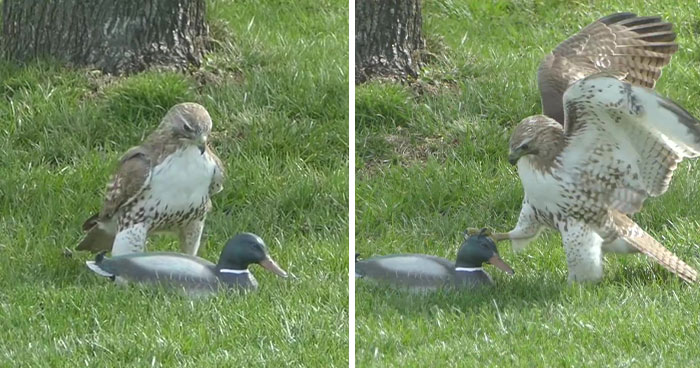 """Hawk Is Completely Confused As To Why This """"Duck"""" Isn't Responding To Its Threats"""