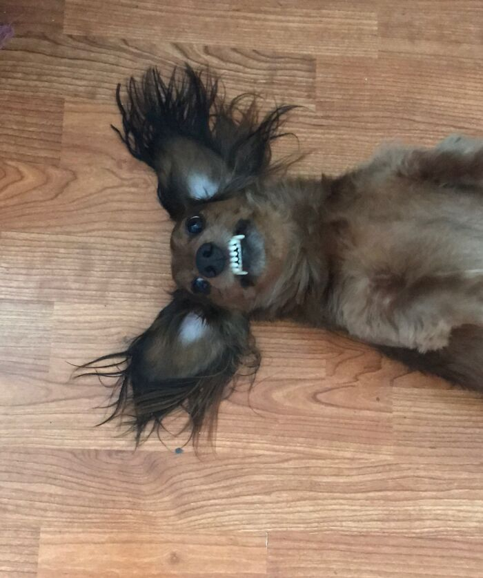 Our Long-Haired Dachshund Chewy Is Our Special Boy. He Just Lays Like This.
