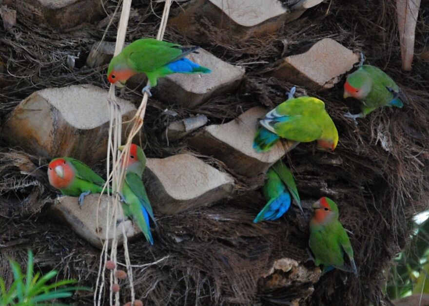 A Flock Of Wild Lovebirds Visited My Neighbor's Palm Tree. It Was Magical!