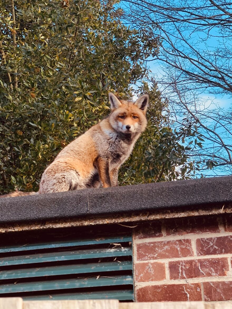 This Fox Was Very Majestically Sitting On A Shed. Very Floofy