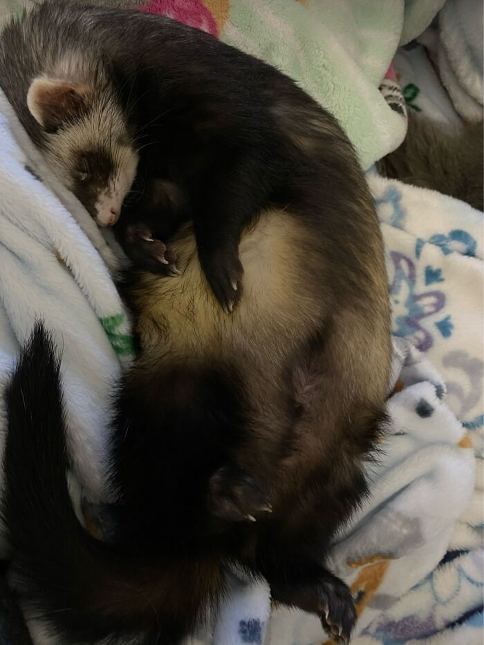 """Not Many Things Cuter Than A Sleeping Ferret. He Will Climb Into Bed And Curl Up. """"Squeeeeee""""."""