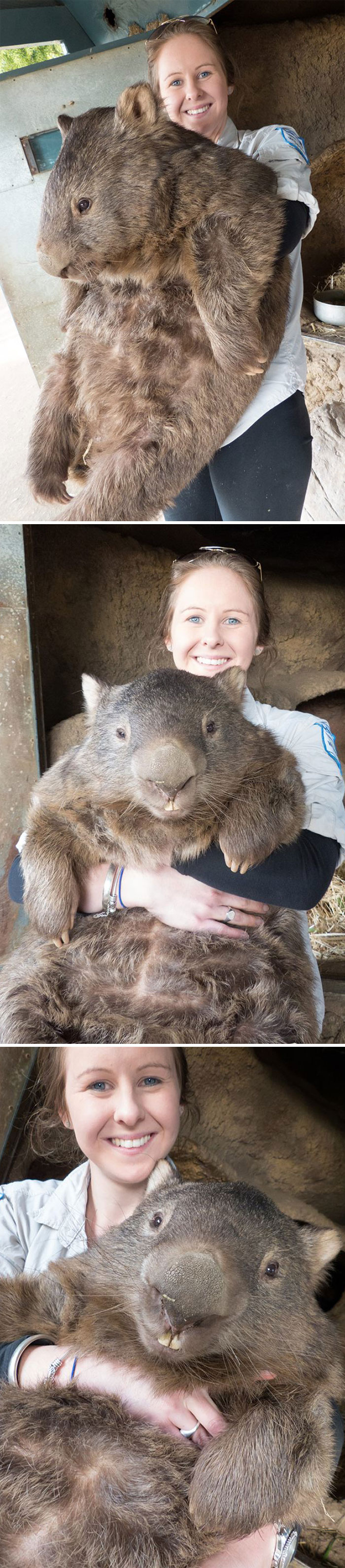 This Wombat, Human For Scale
