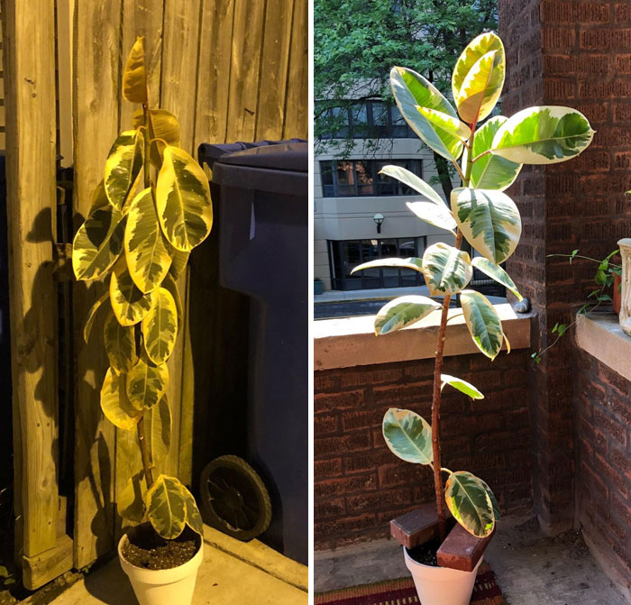 """Before And After """"Adoption"""" - 5 Days After I Found It In The Trash This Beauty Is Thriving"""