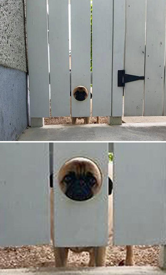 Tuvimos que hacer un agujero en la valla para que nuestro perro pudiera mirar hacia fuera
