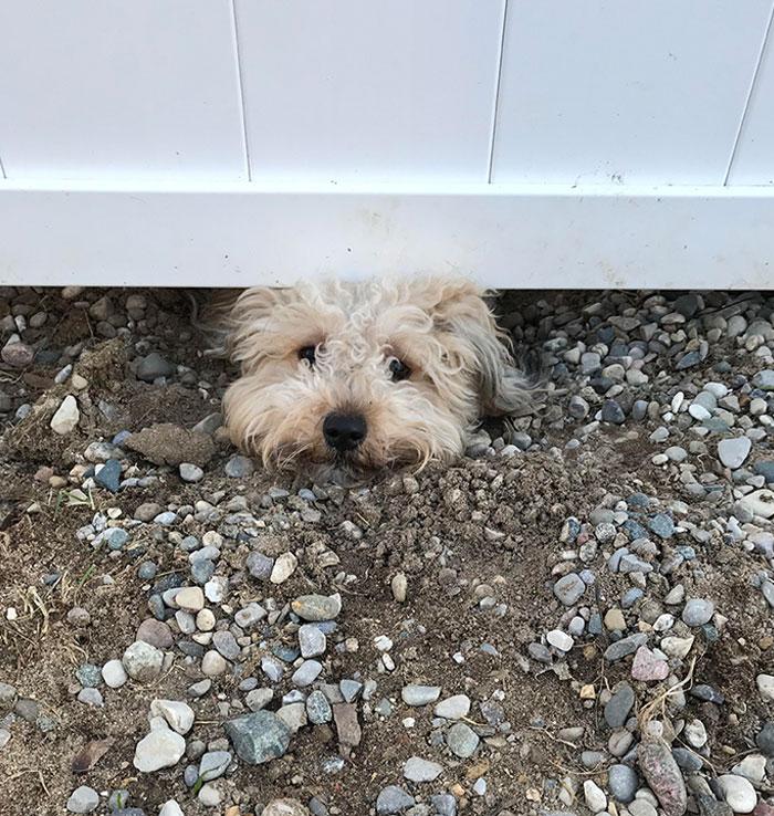Los perros de nuestros vecinos han cavado un agujero debajo de nuestra valla para poder vigilar a nuestros perros