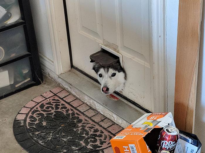Al Husky de mi vecino le gusta usar la puerta del gato para ver qué pasa en el garaje