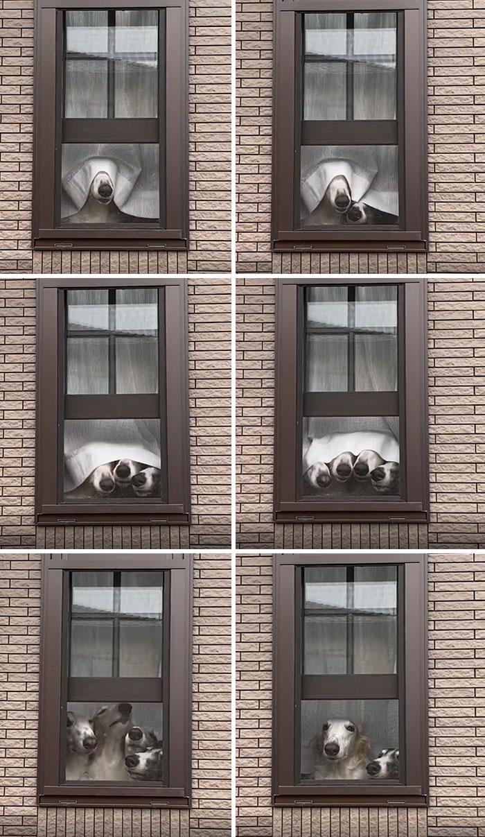 Cuatro adorables Borzois miran con sus grandes hocicos bajo la cortina todos a la vez