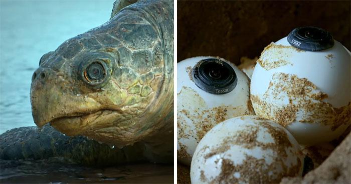 Hay 428000 personas fascinadas por este video de un robot tortuga que grabó a 20000 tortugas desovando en Costa Rica