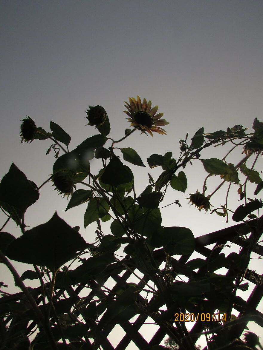 Sunflower Tangle
