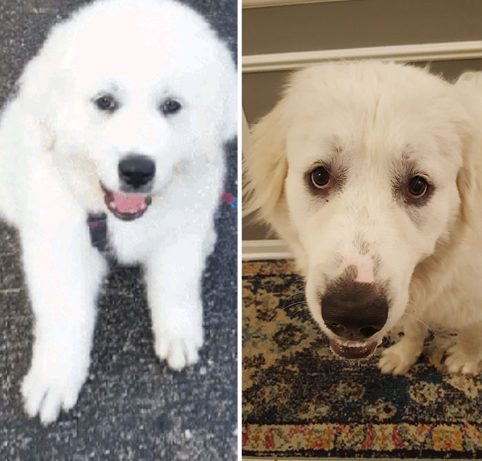 Bear The Great Pyrenees!