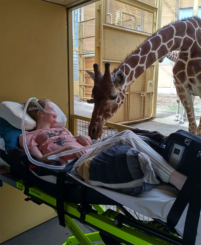Jirafa saludando a una paciente terminal durante su último deseo en un zoo de Holanda