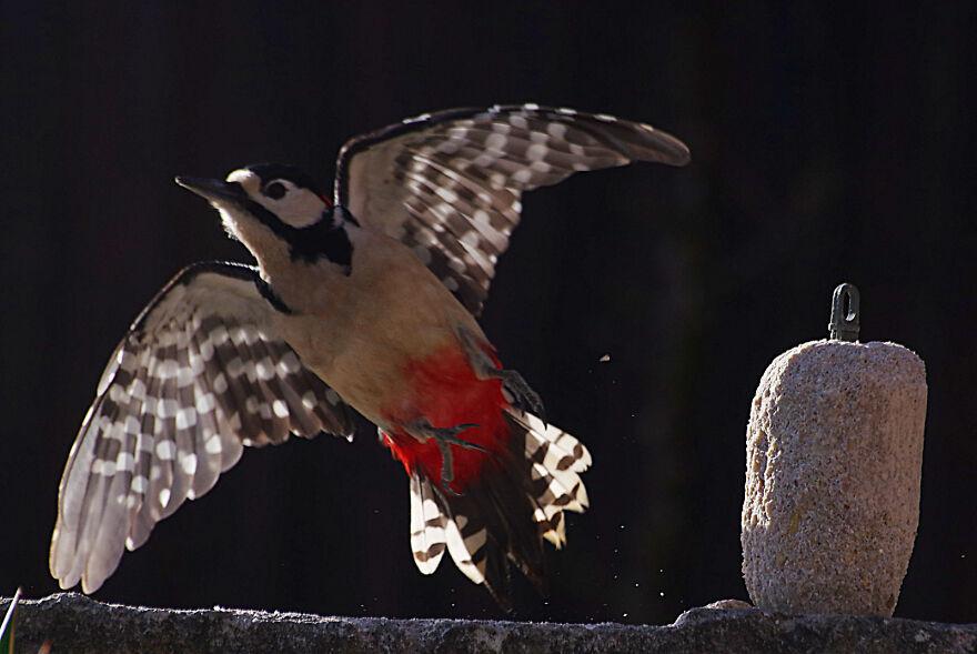 Woodpecker Taking Off