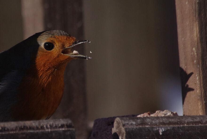 Robin Feeding On The Bird Table
