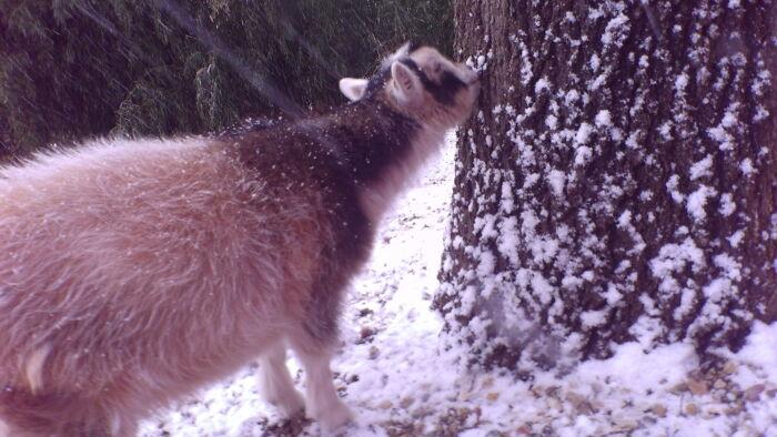 My Goat Star