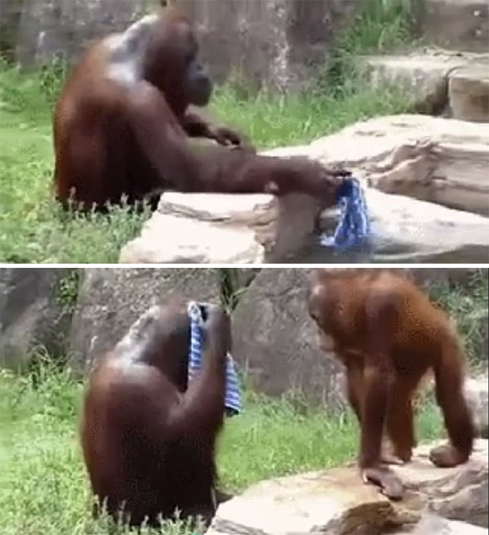 This Is Dawn The Orangutan. She Saw Zoo Workers Cleaning Off After A Shift. So Dawn Stole A Cloth And Now She Cleans Off Everyday Too