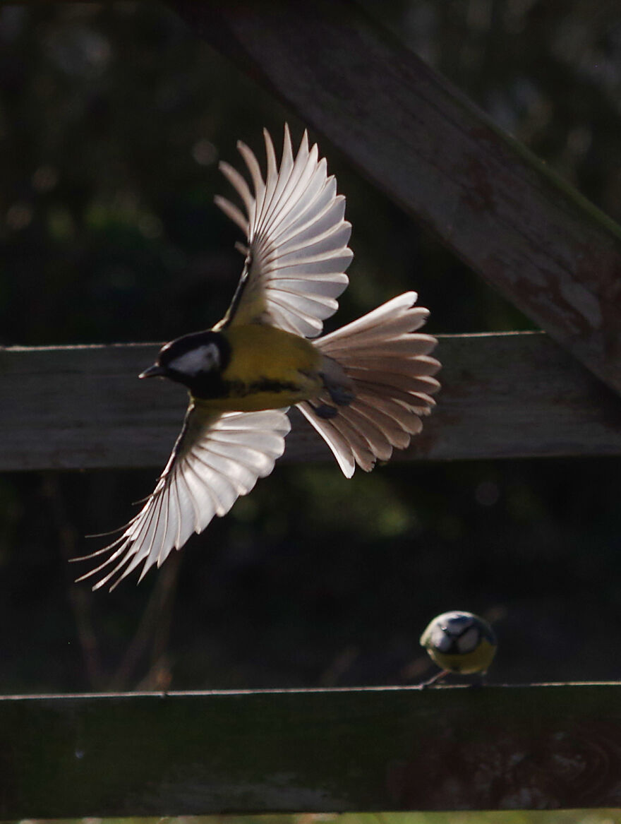 Great Tit Being Watched By A Blue Tit