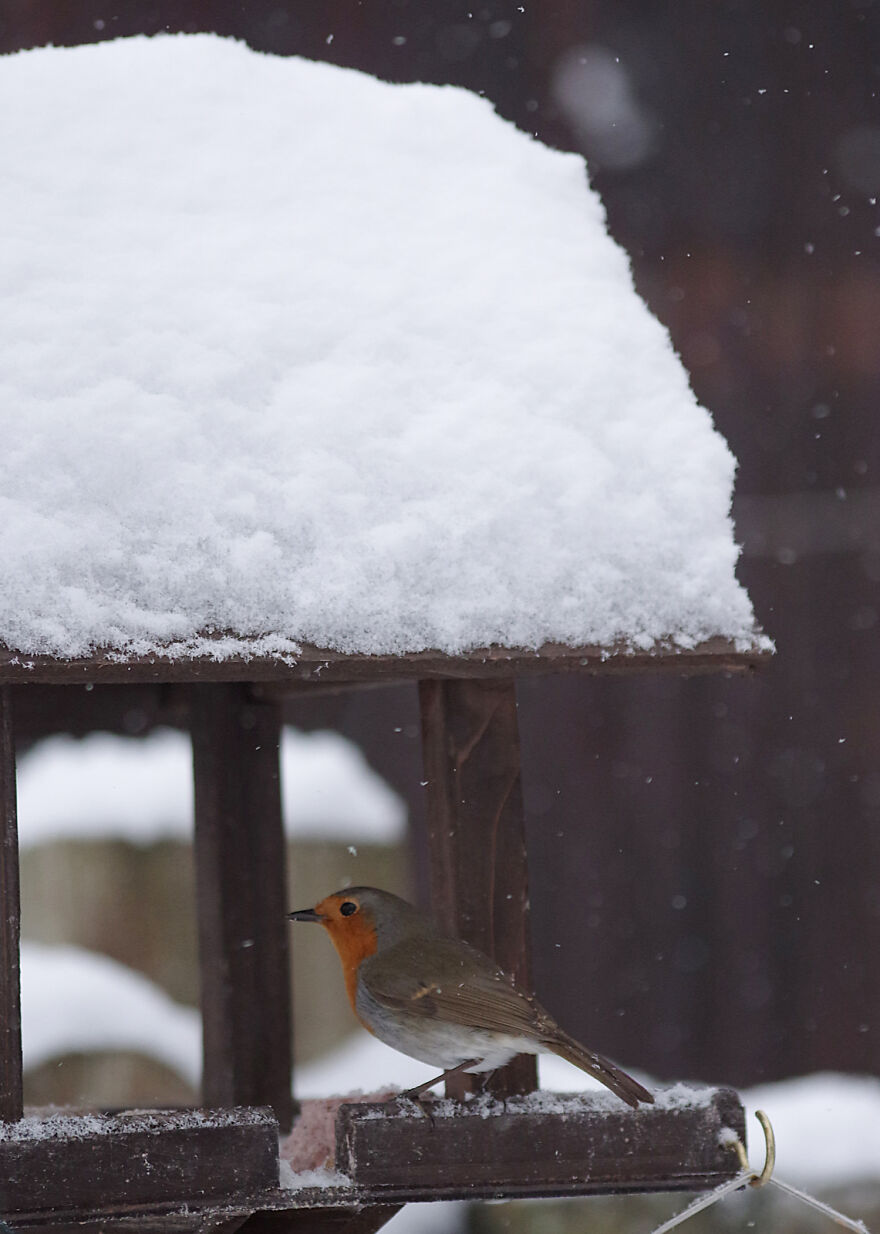 Robin Sheltering From The Snow
