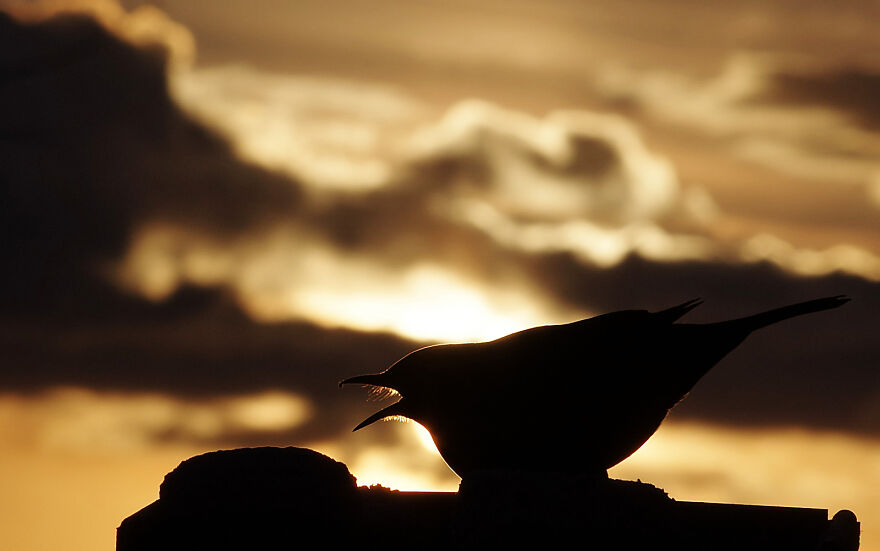 """Blackbird At Sunset. The """"Whiskers"""" Visible Around Its Mouth Are Called Rictal Bristles"""