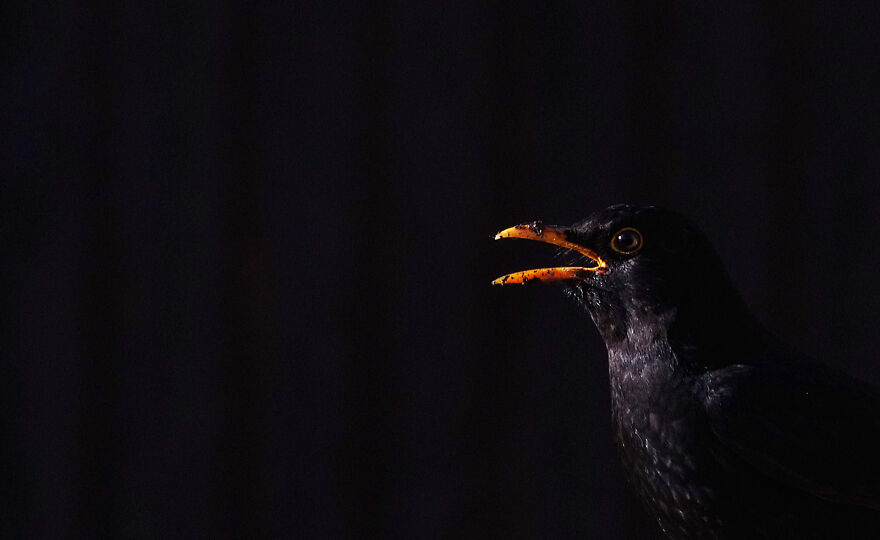 Blackbird On A Black Background