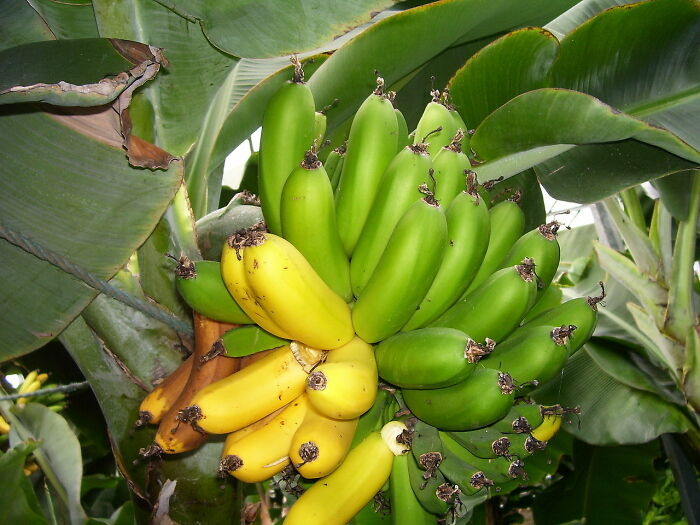 Til That Iceland Has Largest Banana Plantation In Europe. They Use Geothermal Energy To Heat Greenhouses, Allowing For The Production Of Tropical Fruits Like Bananas