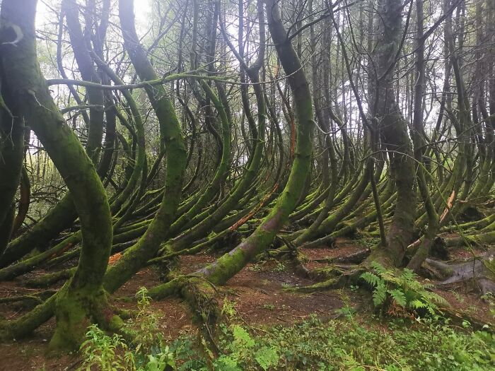 These Bendy Trees I Saw On My Walk This Afternoon