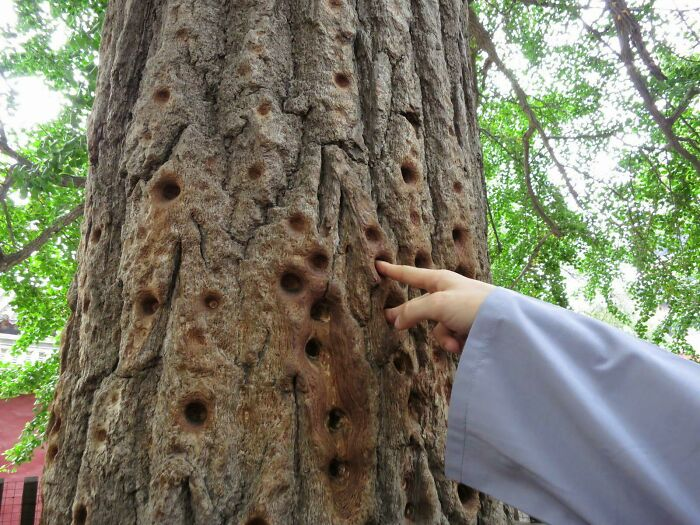 Holes Worn Into A Tree By Shaolin Monks Over Centuries Of Pressing Their Fingers Into The Bark To Train Their Finger Strength