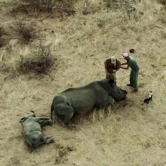 White Rhino Calf Chases Conservation Vets Away After Waking Up And Thinking They Were Hurting Her