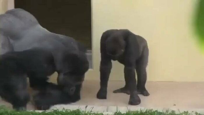 Silverback And His Son, Calmly Observe A Caterpillar