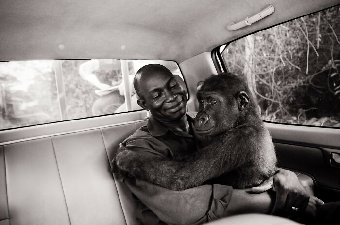 Pikin, A Gorilla Rescued From The Bushmeat Trade, Is Comforted By Her Caretaker Appolinaire On The Way To A Forest Sanctuary