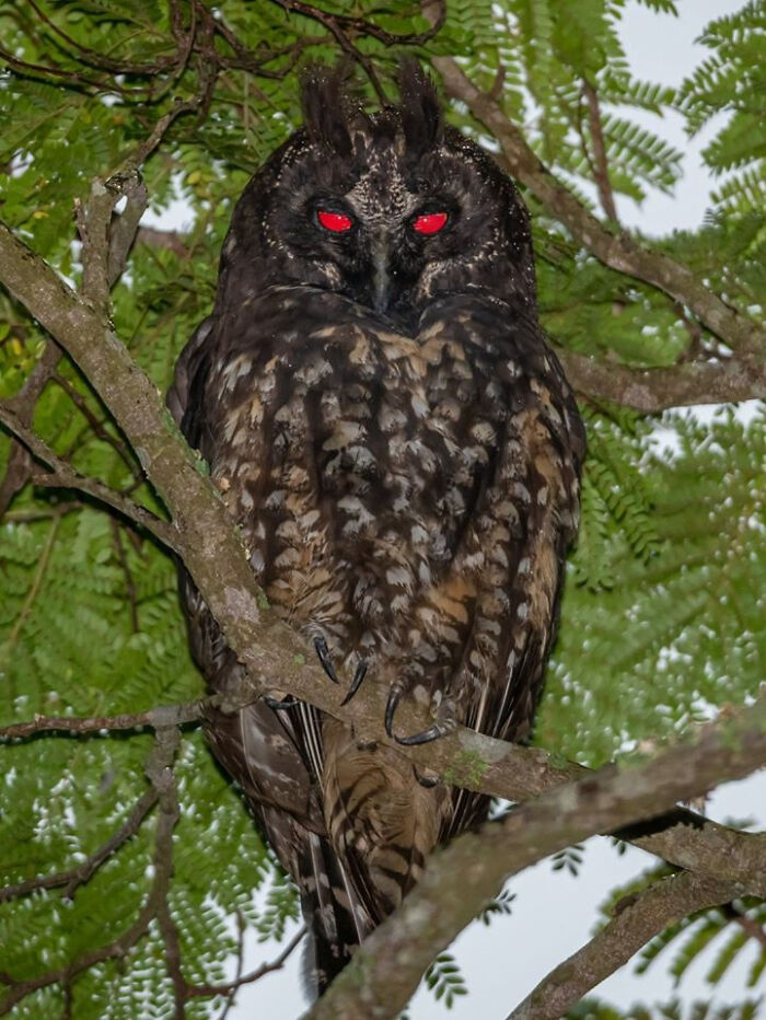 Stygian Owl Known For Red Reflection Of Their Eyes That Are Often Associated With The Devil