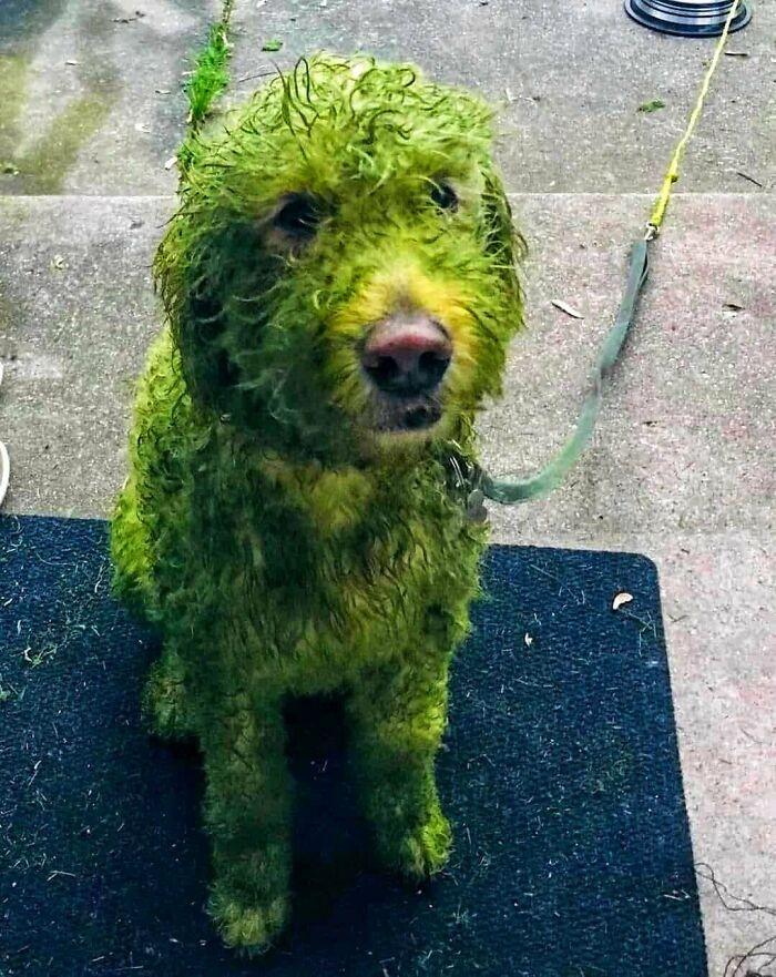 White Doggo vs. Freshly Cut Grass
