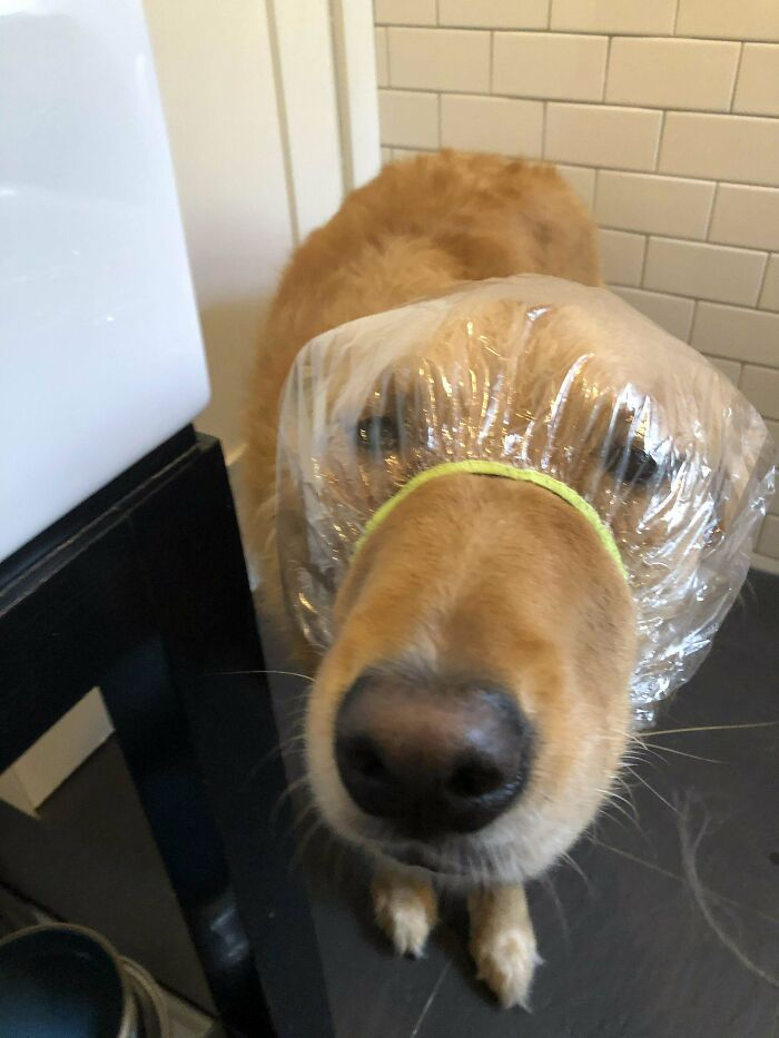 My Dog Gets Ear Infections Easily, So I Got Him A Shower Cap