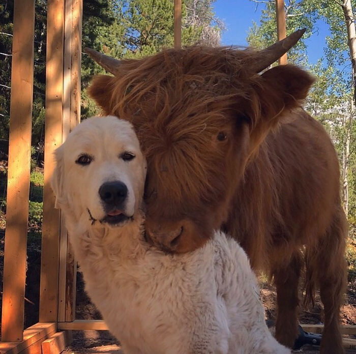 Cow Posing With Their Buddy