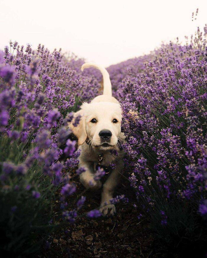 Running Through The Lavender