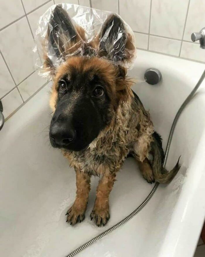 When It's Bath Time But Your Doggy Doesn't Like His Ears Getting Wet
