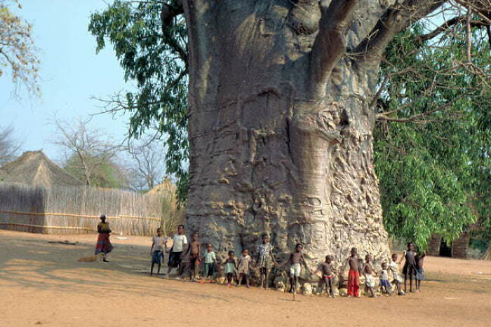 This Baobab Tree Is Said To Be 6000 Years Old