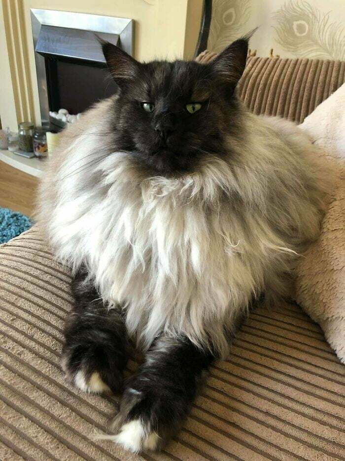 This Fluffy Unit Of A Cat