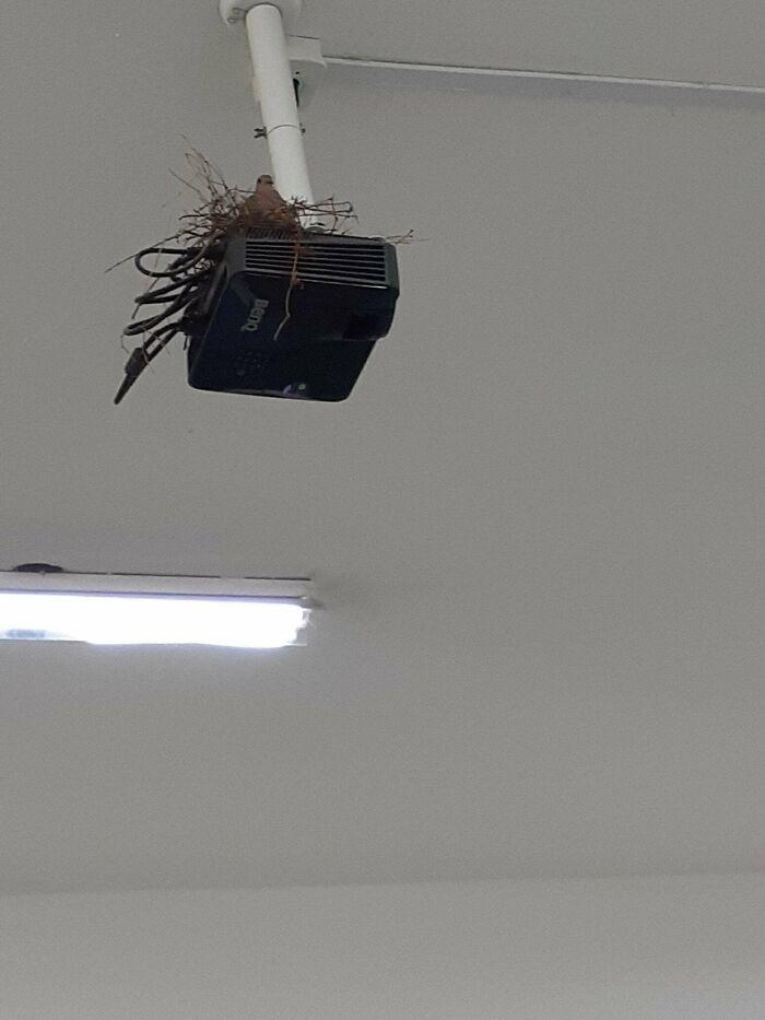 Una paloma ha hecho un nido en el proyector de mi clase
