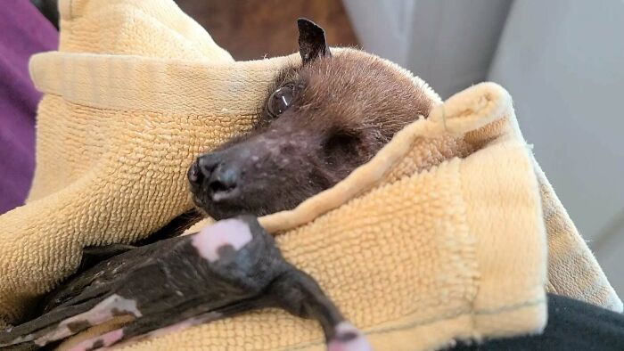 Statler, A Rescued 33 Year Old Indian Flying Fox Here At Bat World Sanctuary, Has Been Getting Some Crazy Social Media Attention Lately! He Sends His Love And Appreciation