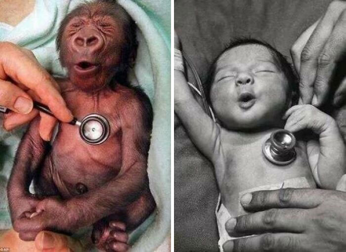 This Is How A Baby Gorilla And A Baby Human React To A Cold Stethoscope