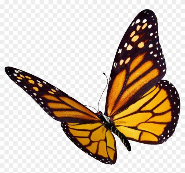 83-838711_more-images-video-monarch-butterfly-png-601af66e1585e.jpg