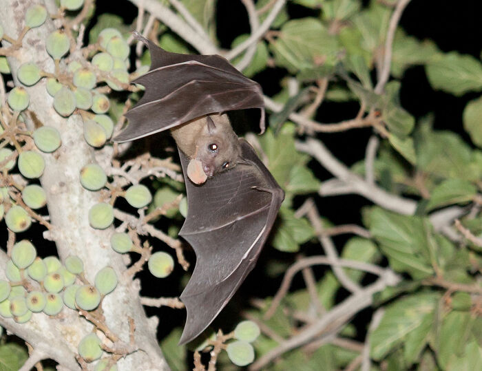 """Til Not Only Do Bats Make High-Pitched Sounds For Echolocation, Many Bat Species Also Sing. A Team Of Scientists That Analyzed One Species' Song Translated It As A Sequence That Opens With A Hello, Then A Gender Identification, Then Some Geographic Information, & Then A """"Let's Talk"""" Section"""