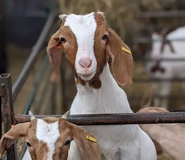 This Farm Made Over $68,000 During The Pandemic By Offering Zoom Calls With Their Goats