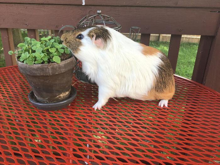 My Friend's Mom Is A Preschool Teacher. This Is The Class Guinea Pig, Gus.