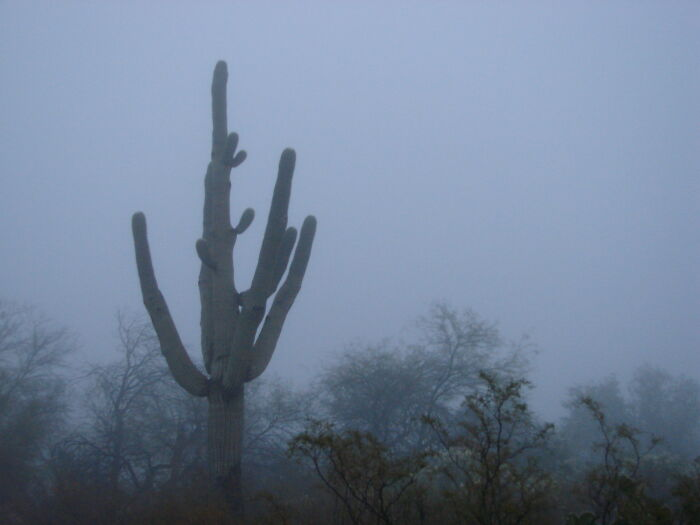 Giants In The Mist. A Rare Foggy Morning In Arizona.