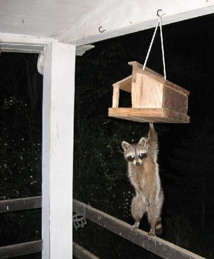 Caught This Guy Raiding The Bird Feeder At Night. Not Sure Why He Felt The Need To Cover His Private Parts