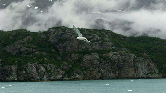 Shearwater, Glacier Bay