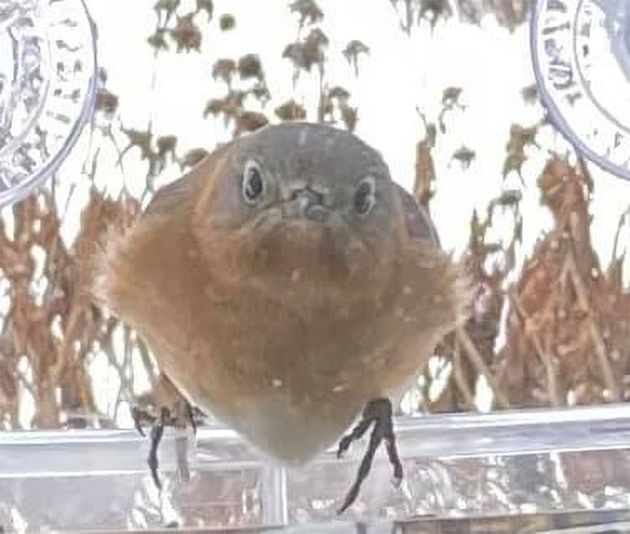 Indignant Bluebird Staring In From The Window Feeder