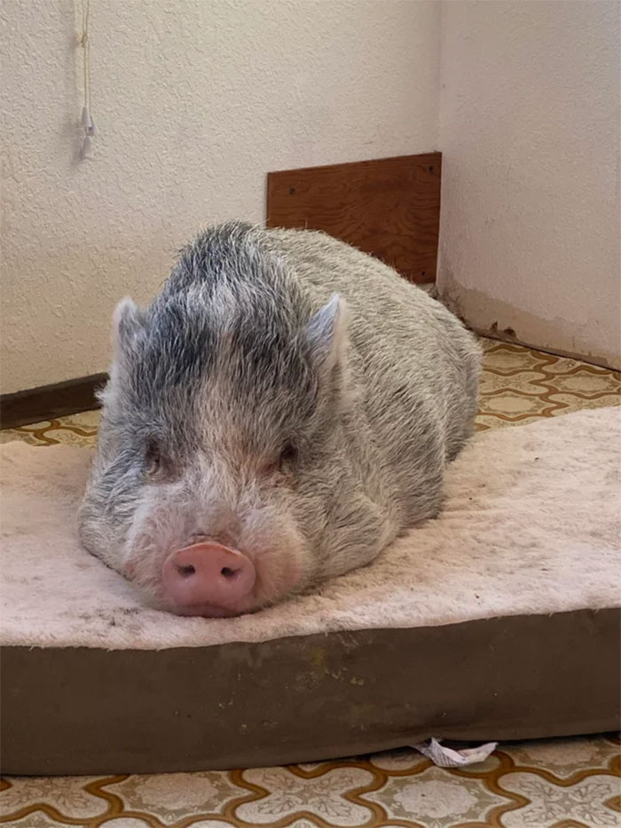 Chopper The Rescue Piggy Is Settling In Well To His Forever Home. Currently Building Him A Little Piggy House!!